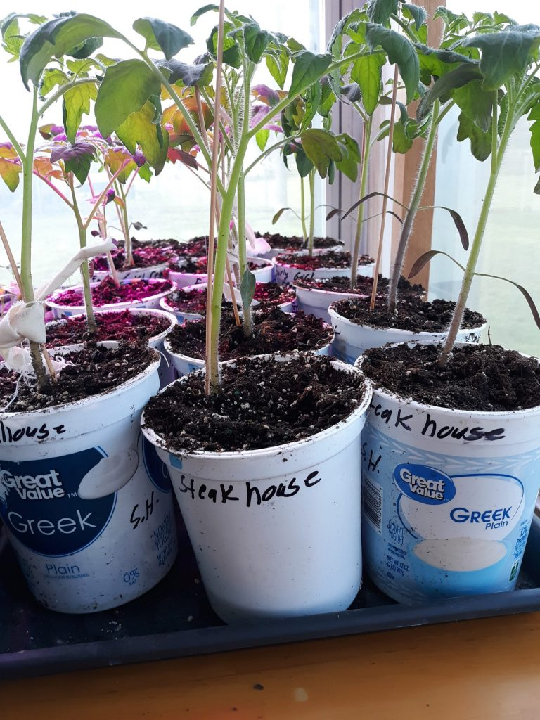 Yogurt containers for seedlings
